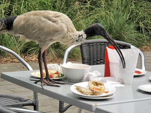 ibis eating food