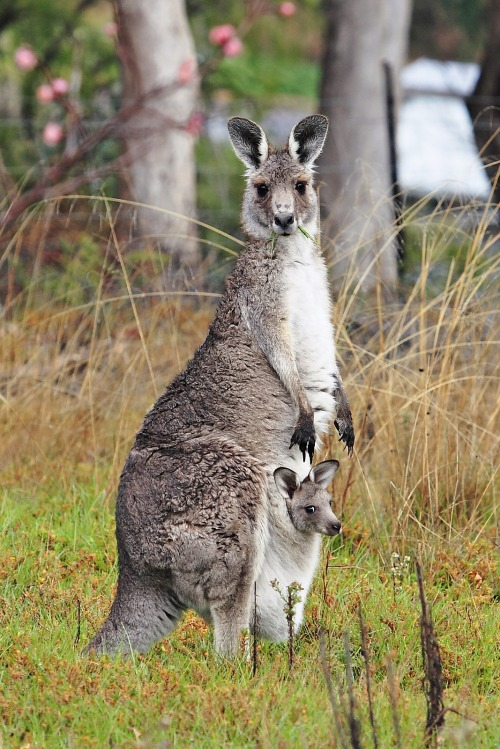 Kangaroo_and_joey