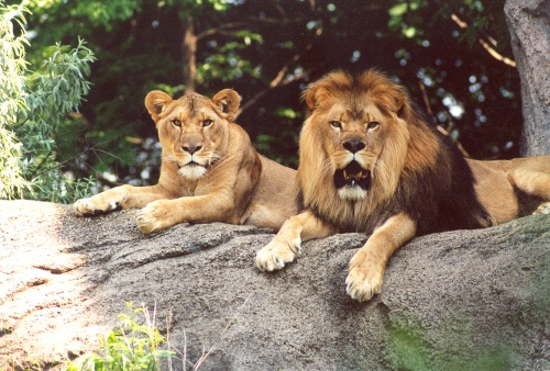 real male and female lions