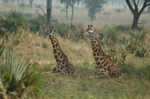 sitting giraffes