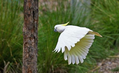sulphur-crest-cockatoo