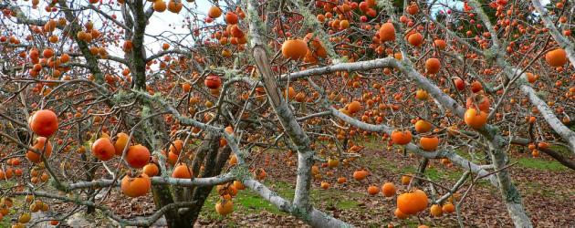 American persimmon-fruit