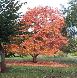 American persimmon-tree