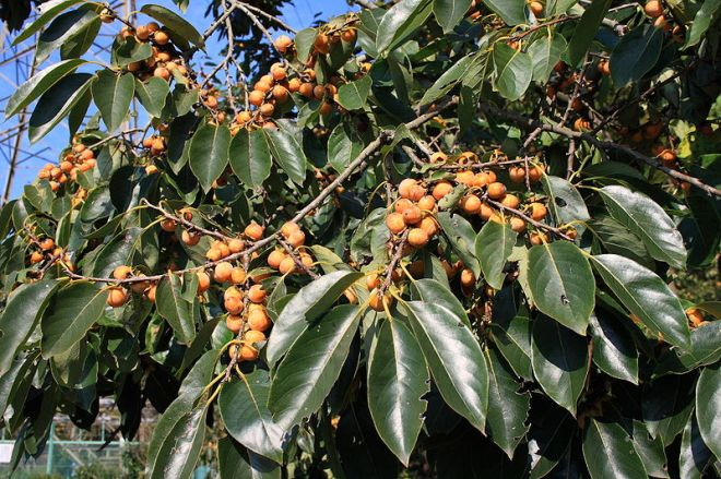 date plum diospyros lotos-tree