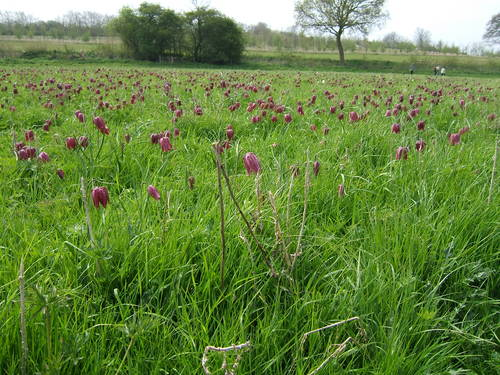 Fox Fritillary meadow