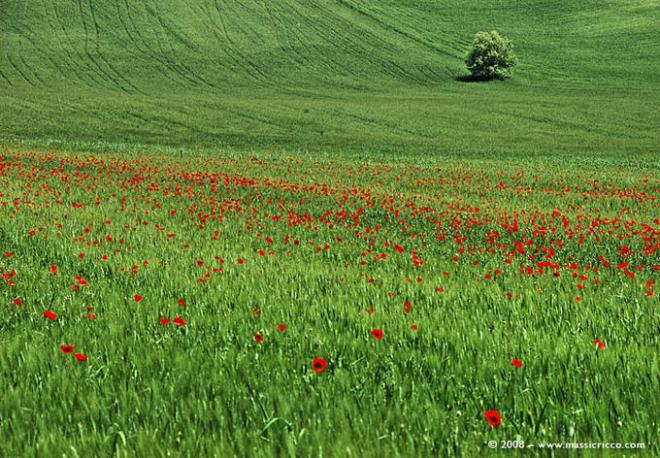 poppies in field-3