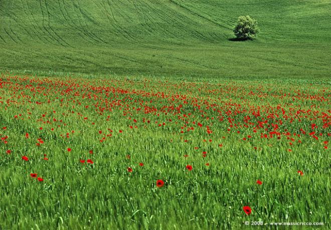 poppies in field-3