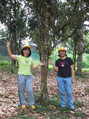 safety helmets under durian trees