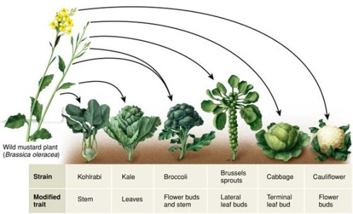 brassica oleracea-evolution 4