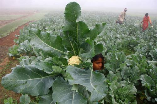 cauliflower in the field
