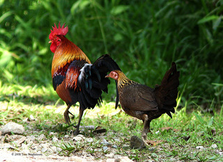 red junglefowl-1