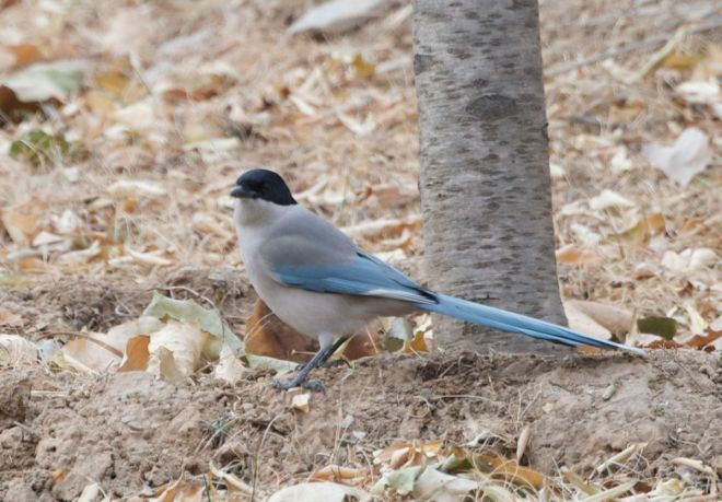 azure-winged-magpie-1