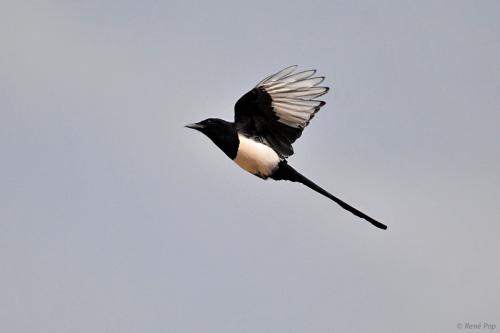 Eurasian magpie-2