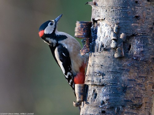 great-spotted-woodpecker-2