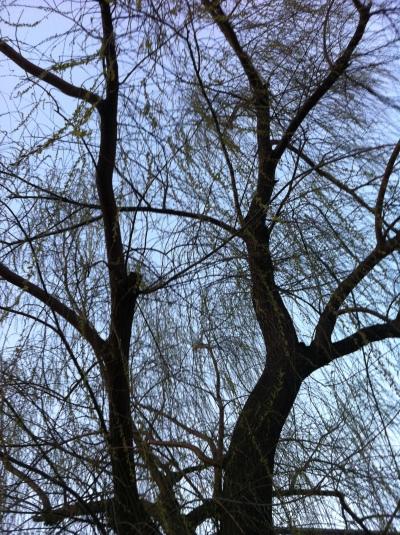 greening willows