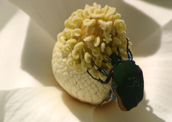 beetle in magnolia-1