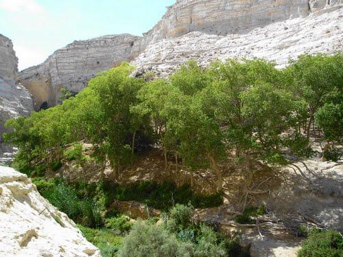euphrates poplar
