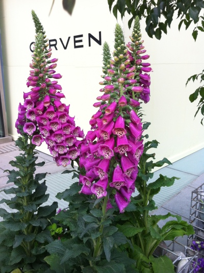 foxgloves at sanlitun 001
