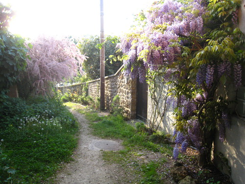 glycine dans la vallee de la Loire-1