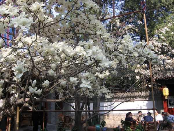 magnolia trees dajue western temple