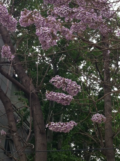 paulownia at barracks 001