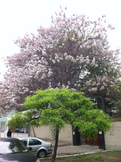 paulownia at the barracks April 2014 003