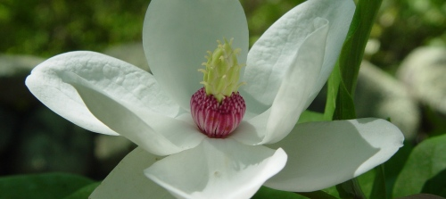 southern magnolia-flower