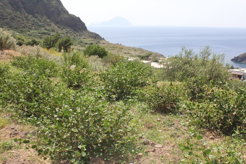 caper bush-1