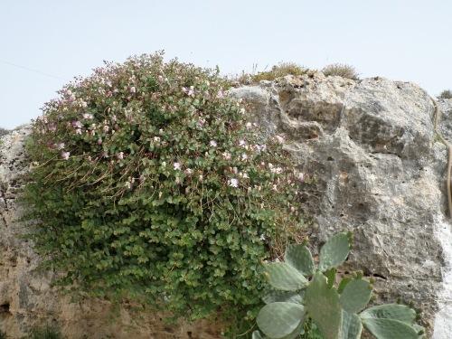 caper bush-2
