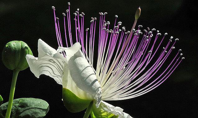 caper flowers-2