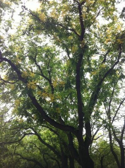 golden rain tree 009