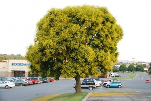 solitary goldenrain tree