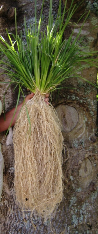 vetiver roots