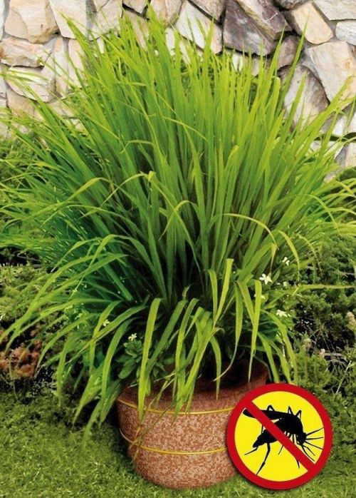 lemongrass with mosquito