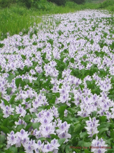 water hyacinth in flower in canal