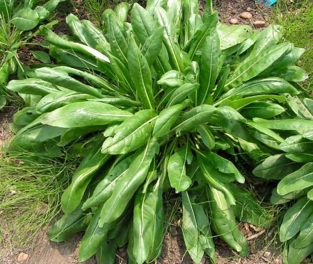 woad plant