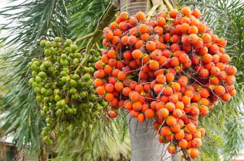 Ripe and Raw Betel Nut Or Areca Nut Palm On Tree