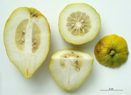 cut citron
