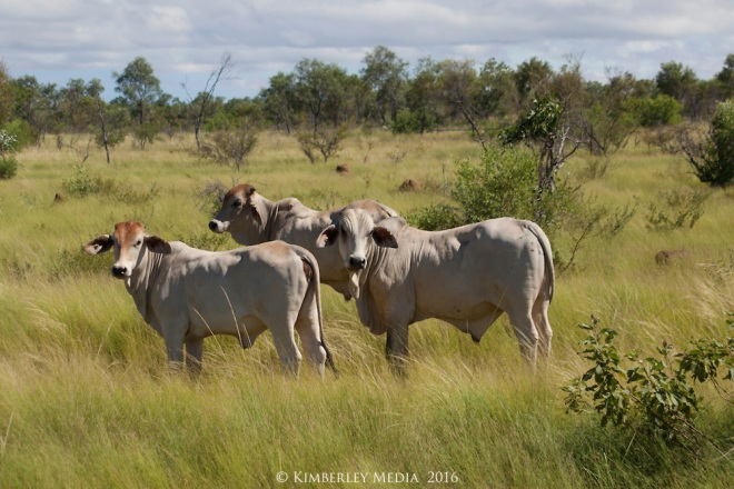Young Brahman cattle enjoy the lush grasslands in the Kimberley wet season.